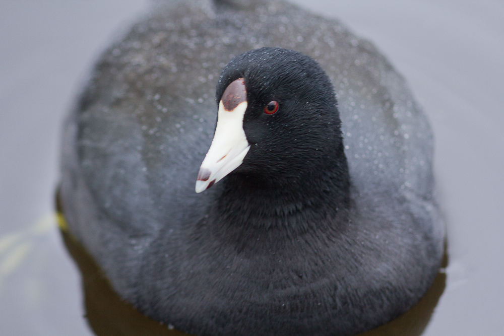 This coot had all kinds of aspersions cast on his character, but he just continued being a coot.