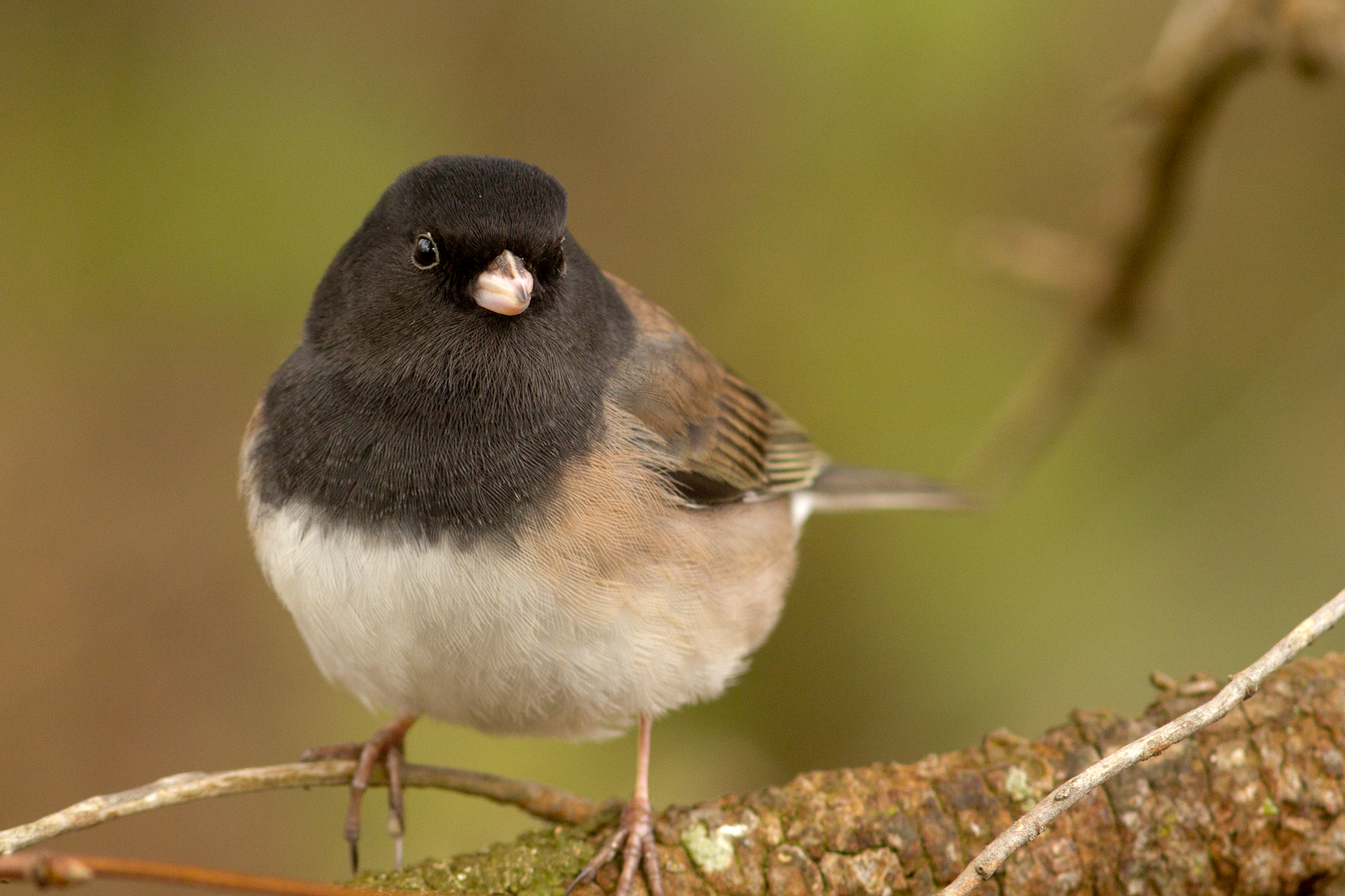 Juncoes are subdued beauties.