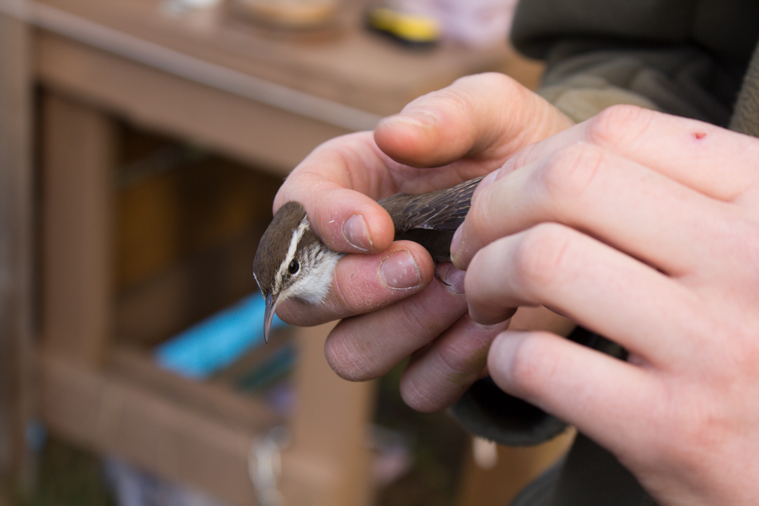 Bewick's Wren in the hand