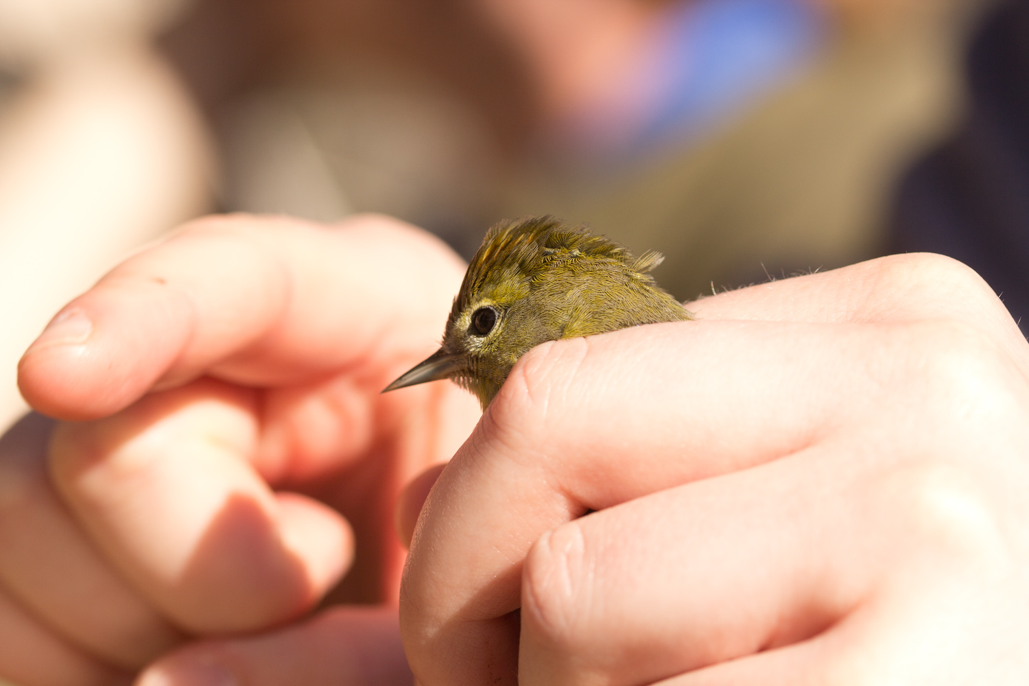 Orange-crowned Warbler!