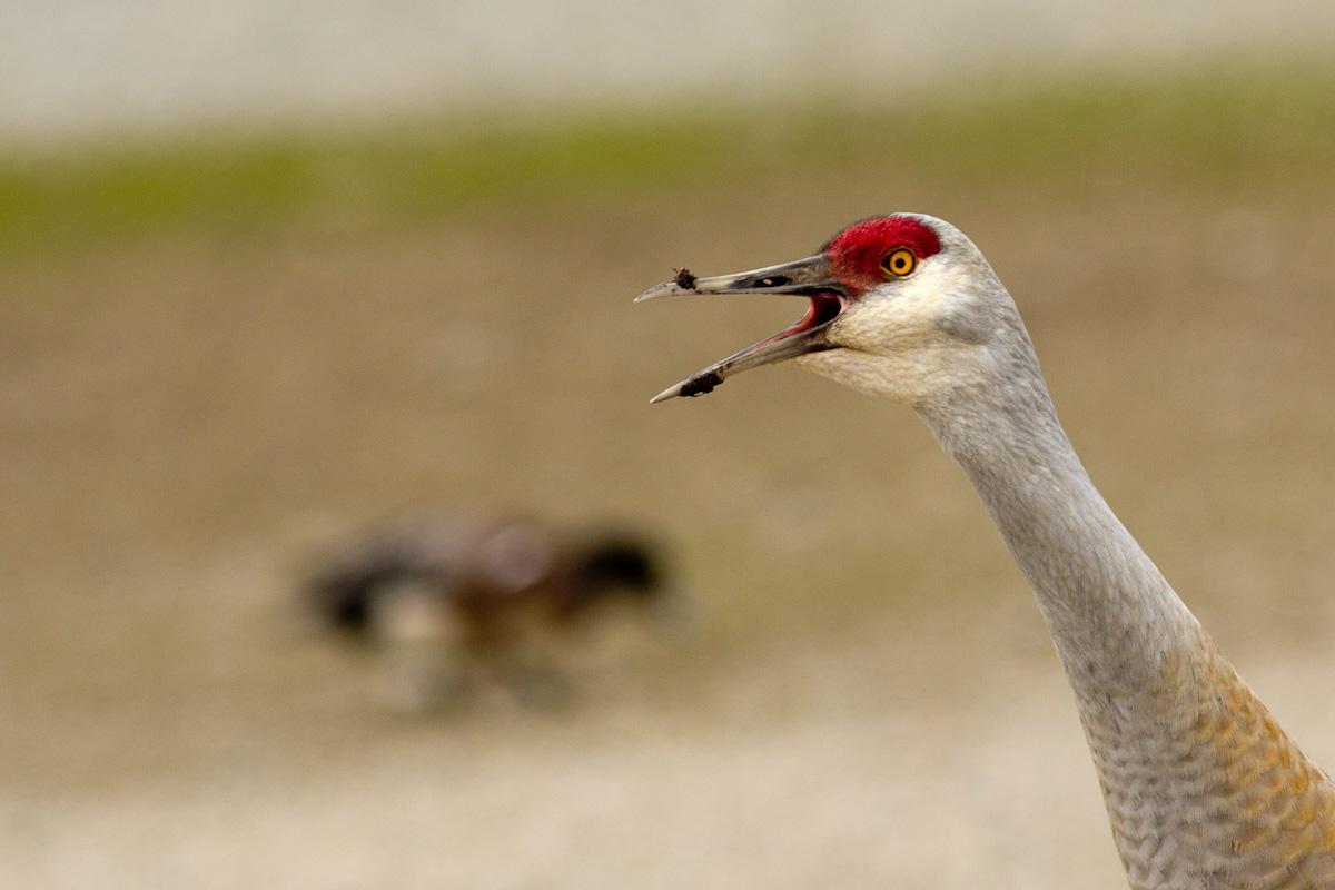 more calling cranes!