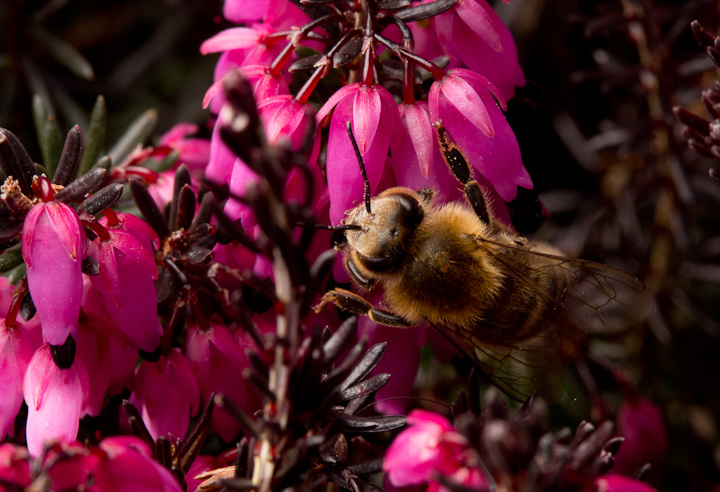 Honeybeees were out on ornamental heathers.