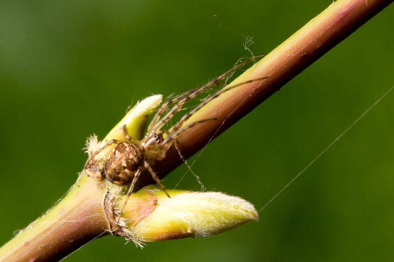 Spider (Metellina?)