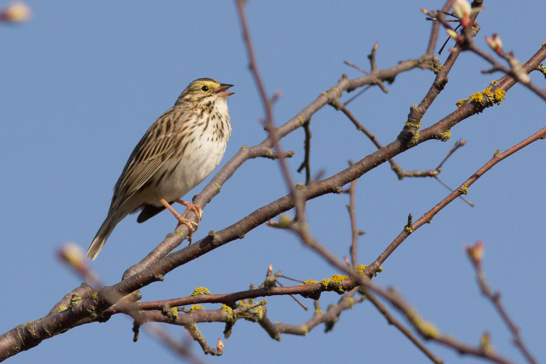 Savannah Sparrows...So pretty!