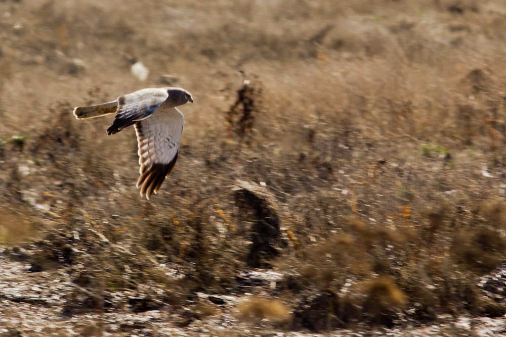 This harrier caught a vole while we were watching.