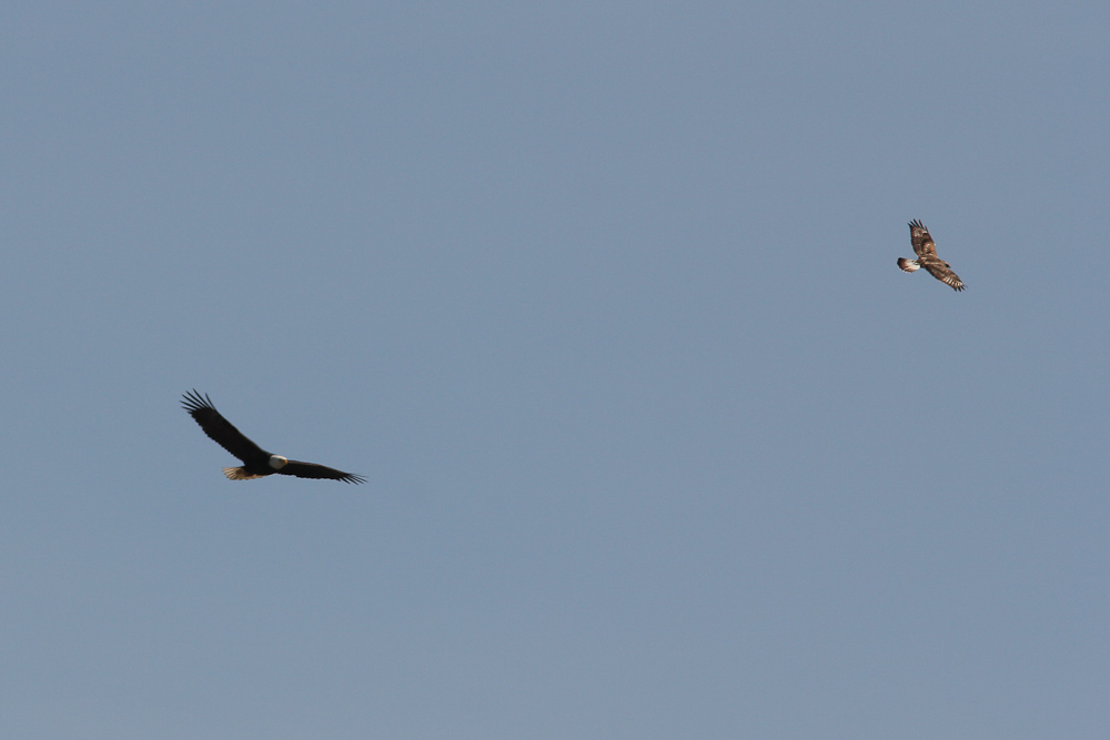 A rough legged hawk and an Bald eagle share a thermal.