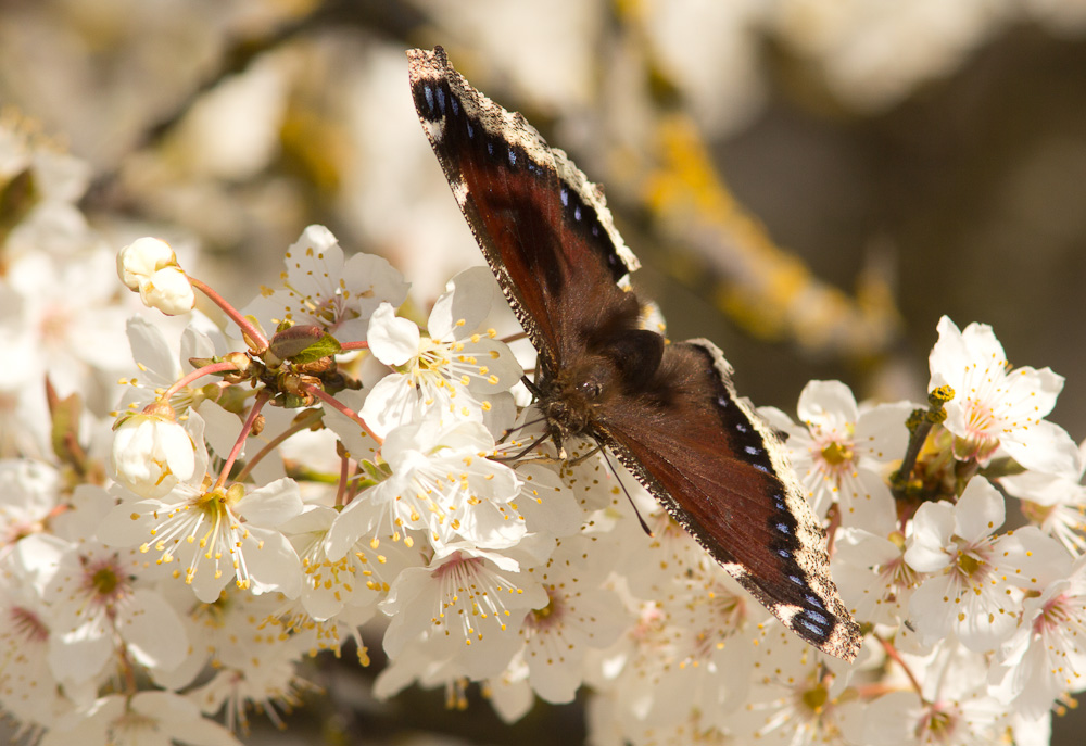 First Mourning Cloak of the season!