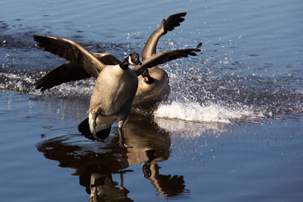 Other Canada geese are feeling their hormones in different ways.