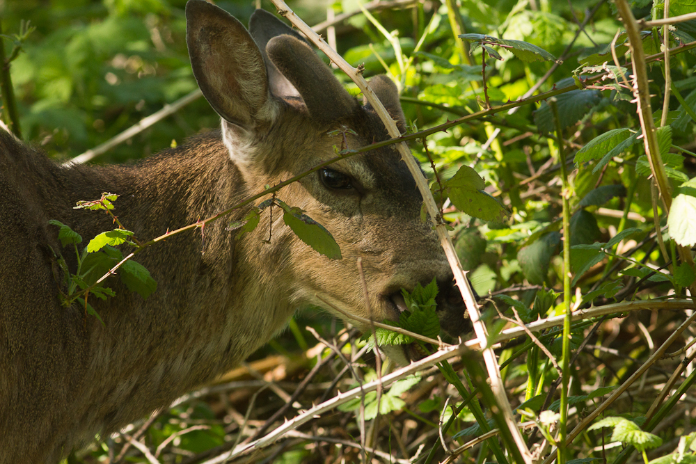 A Mule Deer was unconcerned with our presence