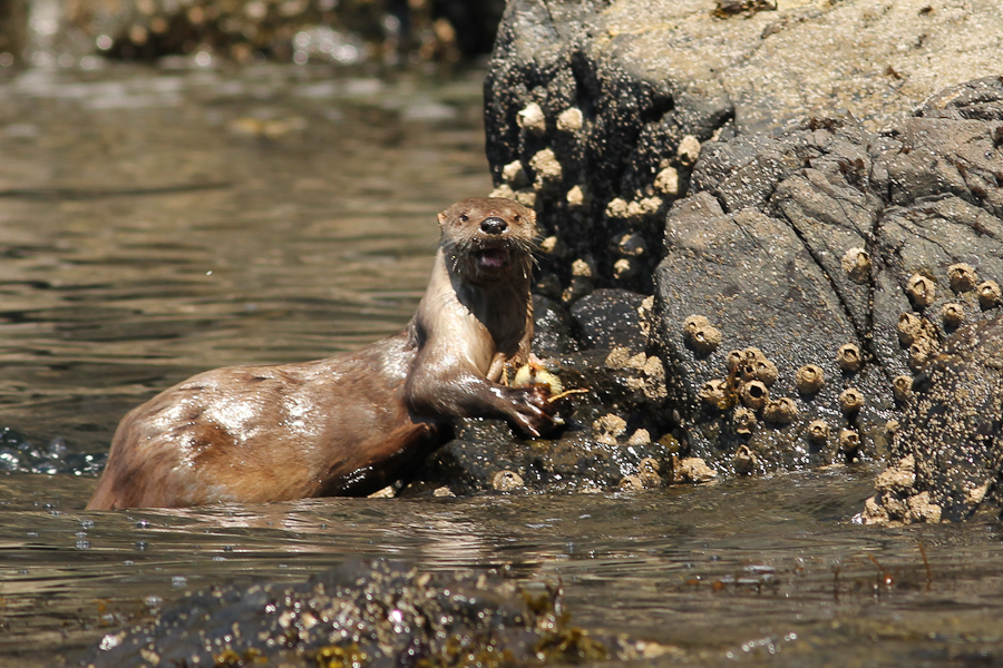 A River Otter feeding.