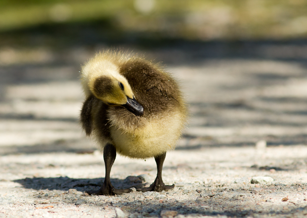 These are the goslings we were looking for!