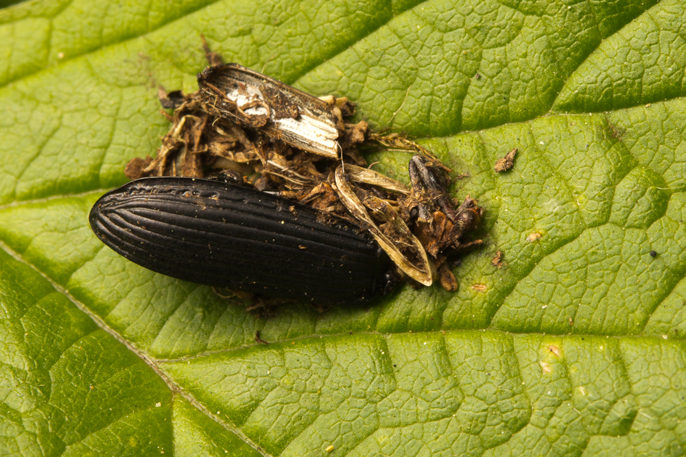 Coleopteran remains in bird dropping.