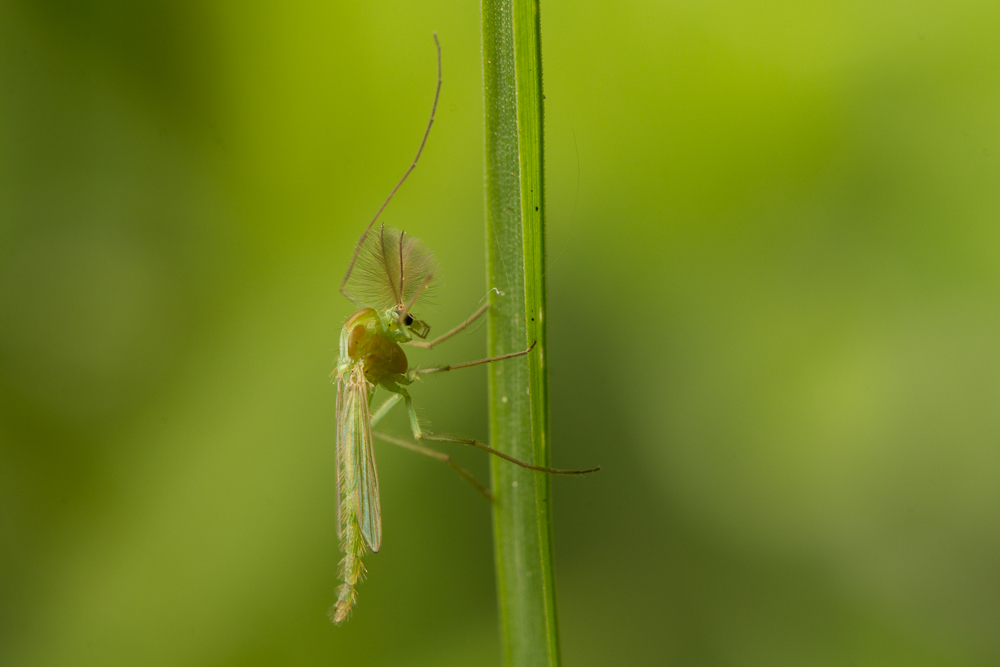 A chironomid