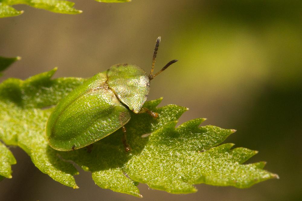 A Thistle Tortoise Beetle? Guillaume? Anyone?