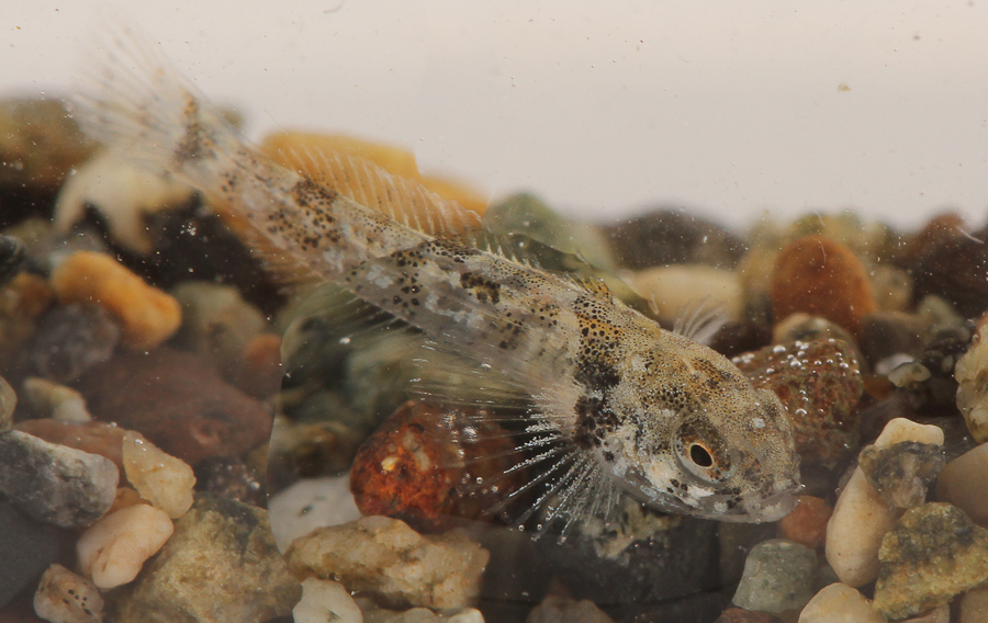 A small sculpin. Note strange water artifact from drop on outside...