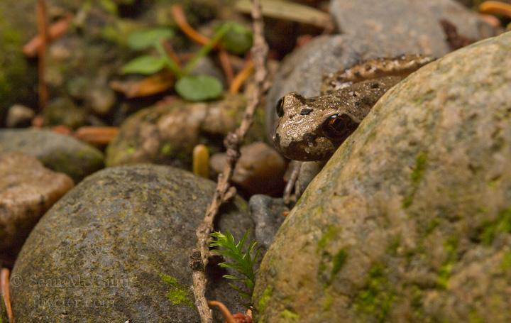 tailed-frog_7752812096_o