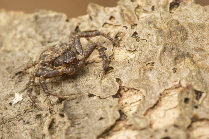 These bark crab spiders are extremely flat!
