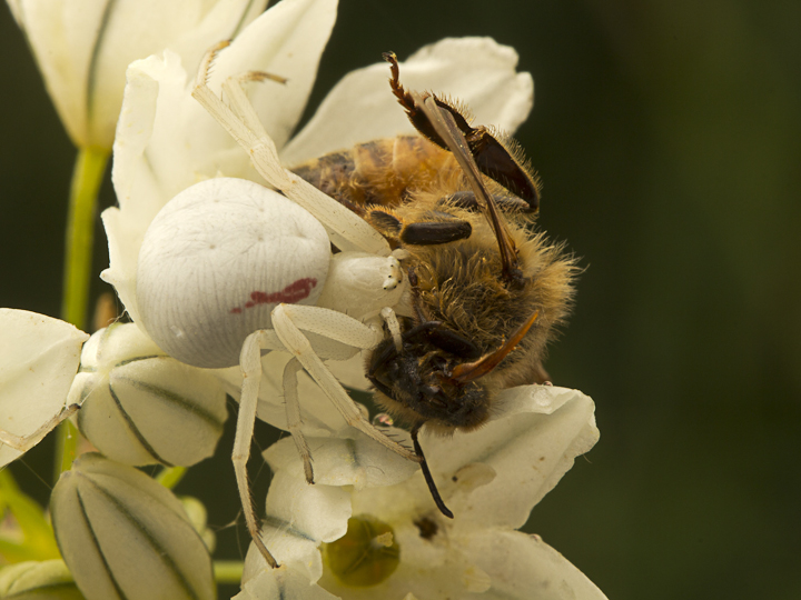 I have still had my eye out for spiders, and this Misumena vatia with a honeybee was a lovely find in Uplands Park.