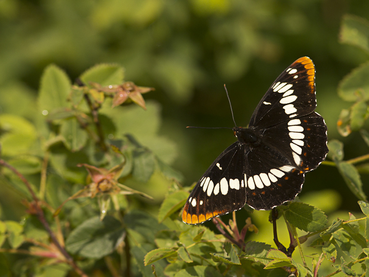This Lorquin's Admiral we saw at Island View Beach, resting on a rose bush