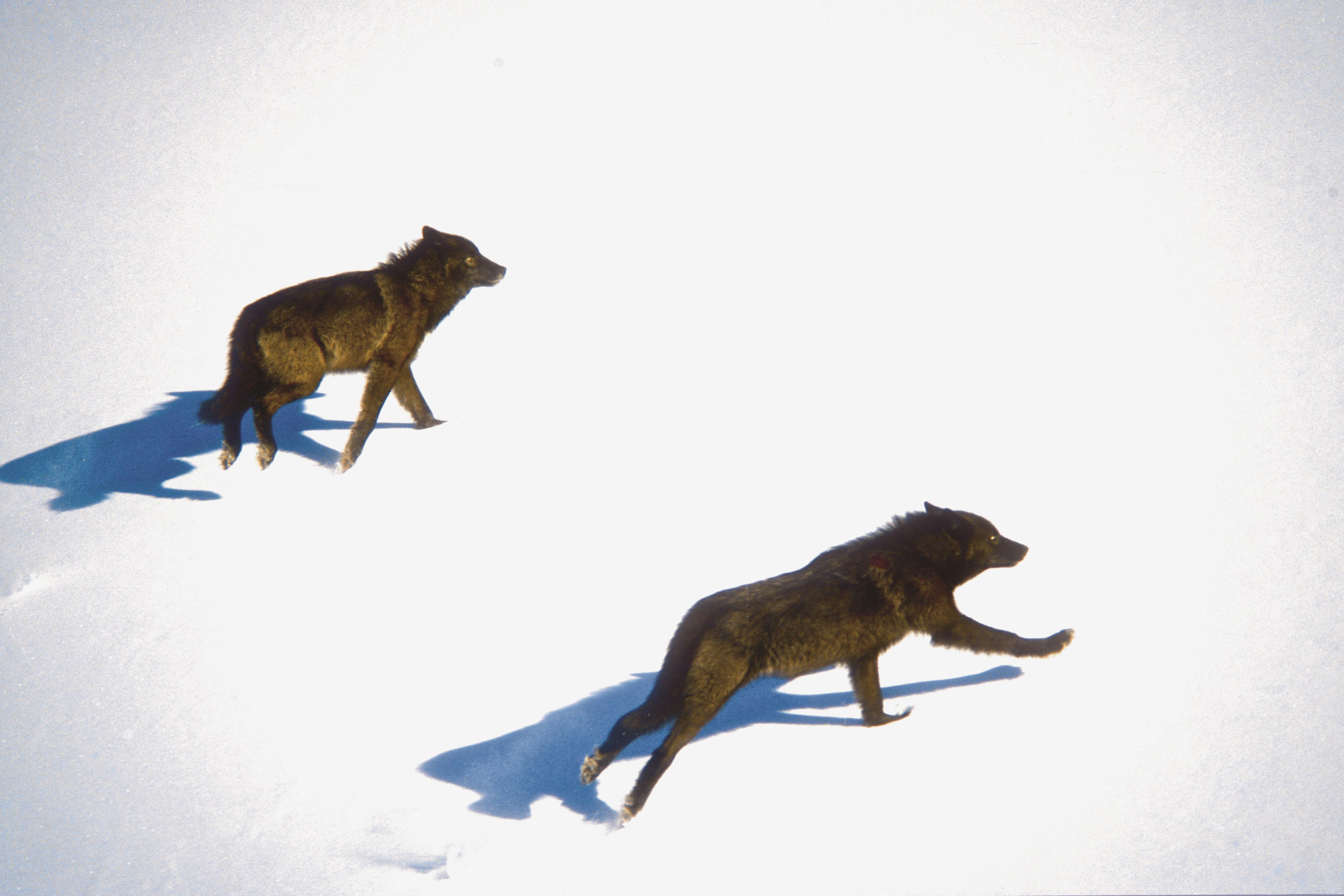 Wolves Alberta_Paul Paquet