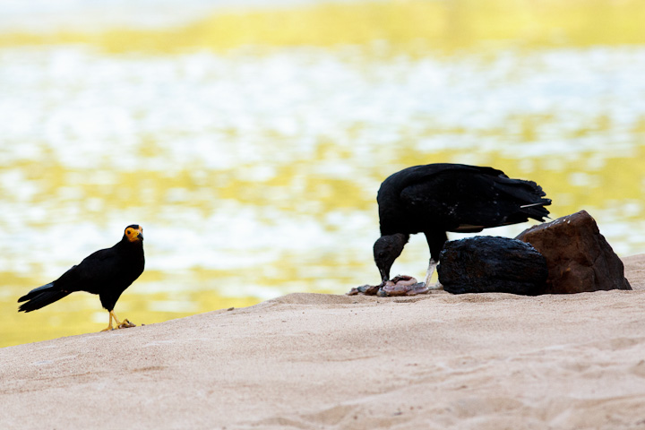 Here the caracara  is considering trying for another.