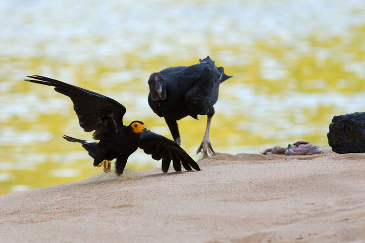 Uh oh! The vulture takes exception.