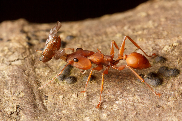 A few of the ants walking towards nest entrances had prey, such as this pretty but unfortunate beetle.