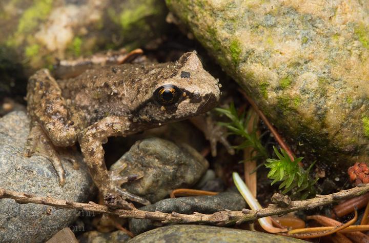 tailed-frog_7752809202_o