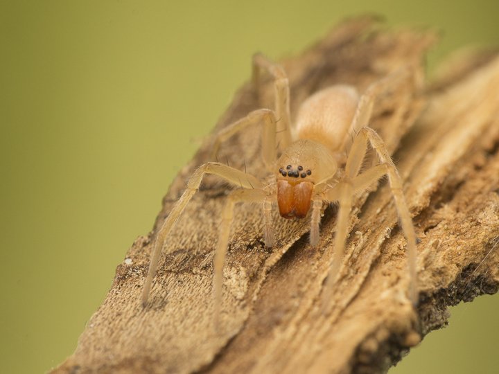 This shot shows the sac spider's eye arrangement.